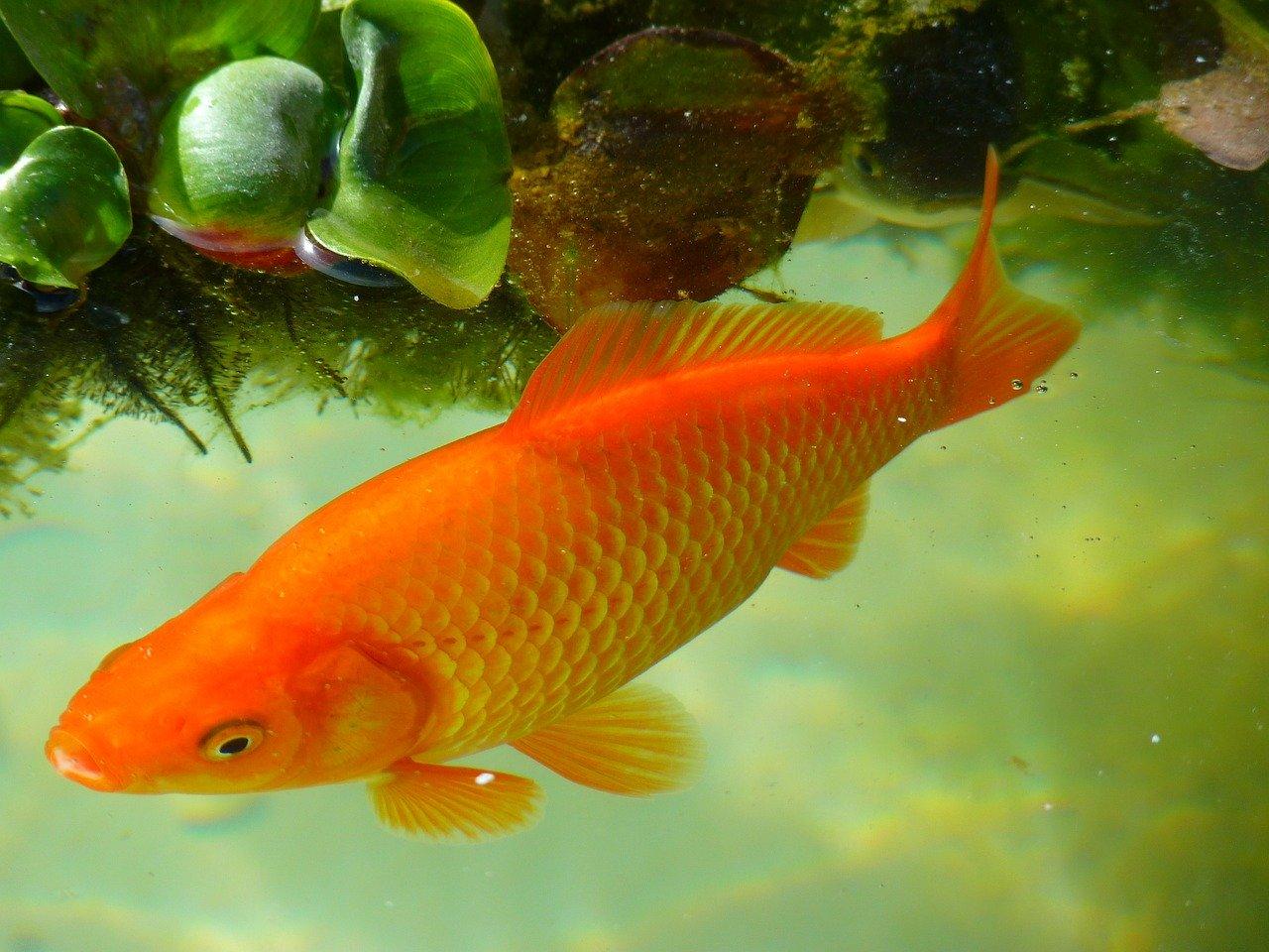 Poisson rouge ou combattant, quel poisson choisir?