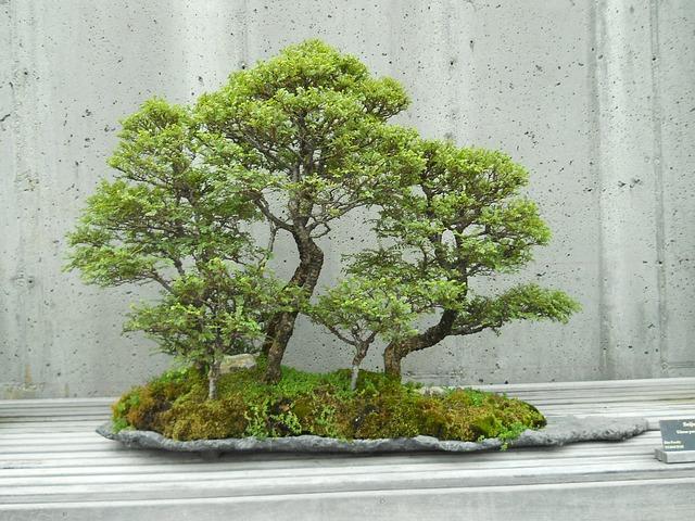 la culture du bonsai