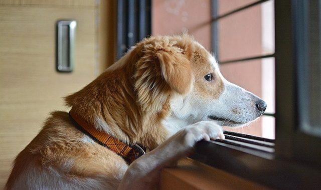 anxiete de separation du chien