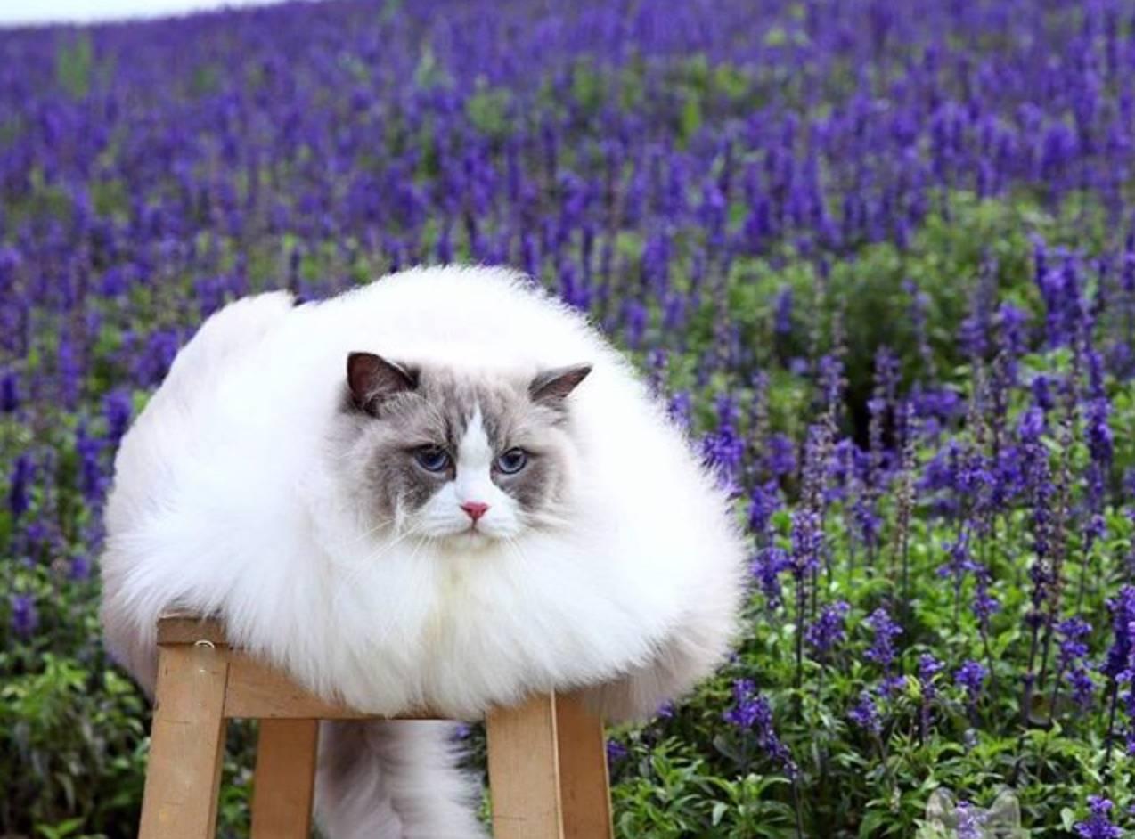 lavande chat